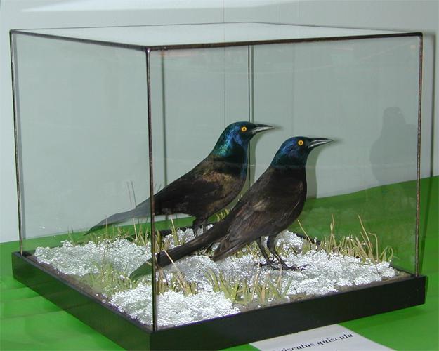 common-grackle-2010